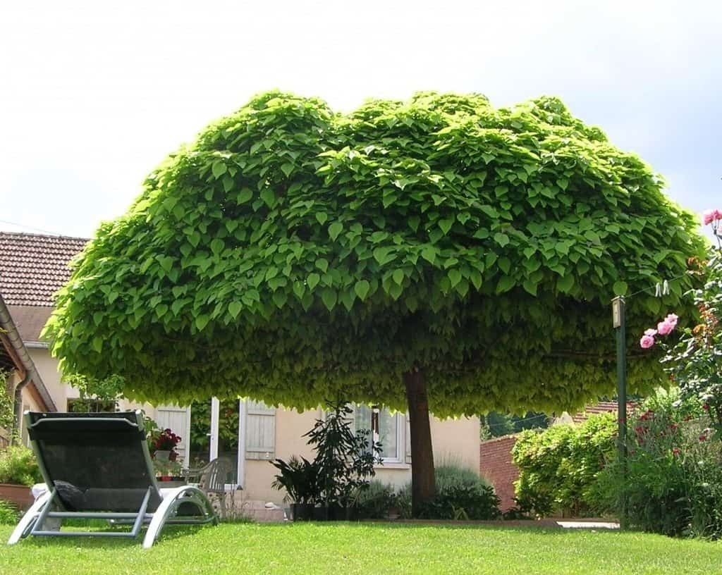 Superieur Backyard Shade Trees Ketoneultras In Proportions 1024 X 816