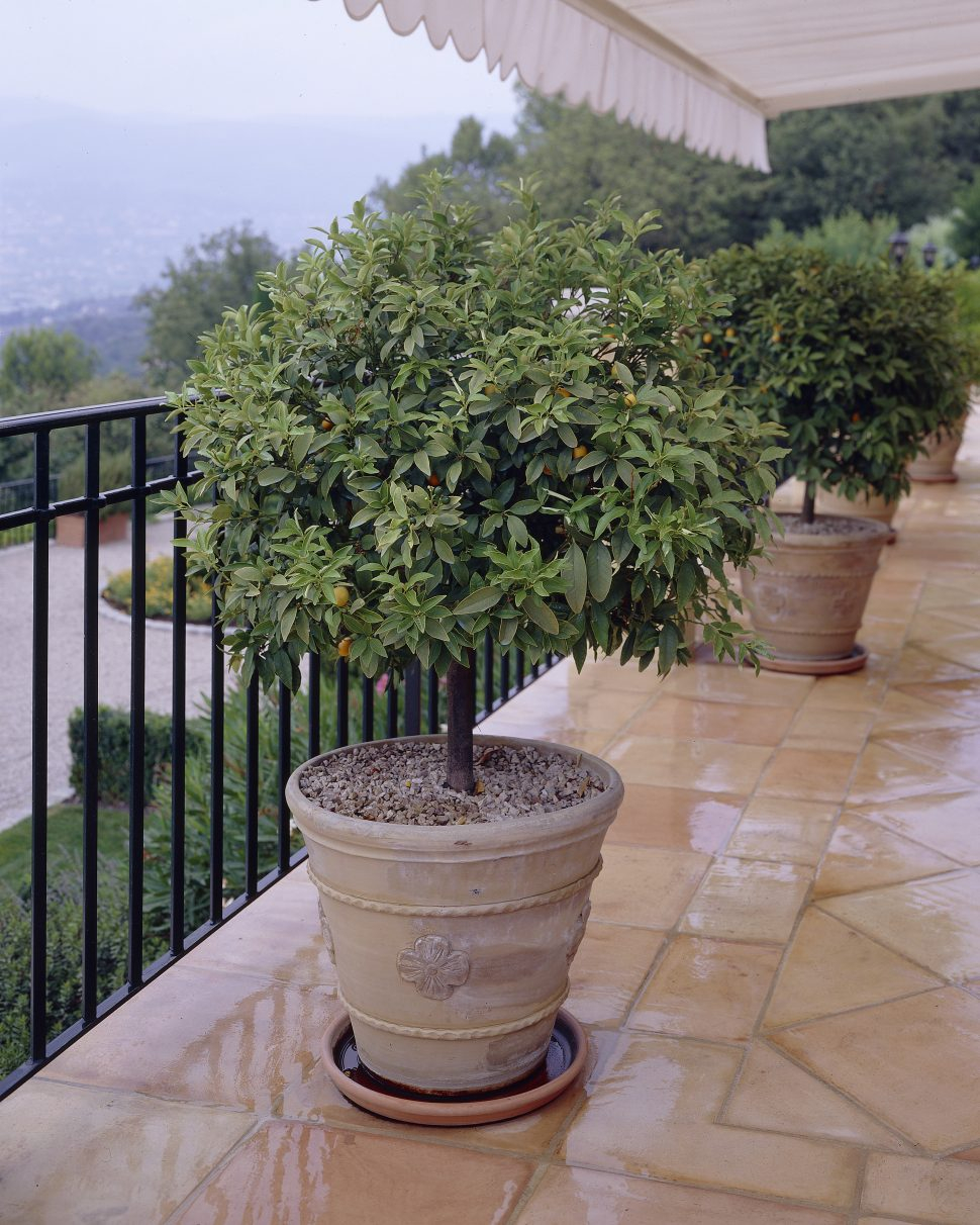 Potted Patio Shade Trees Ideas
